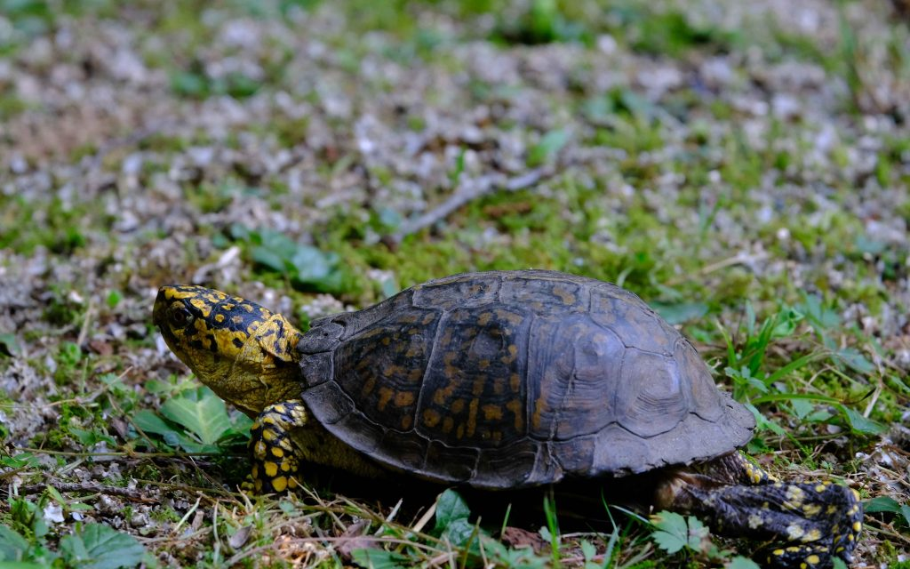 Turtle walking slowly